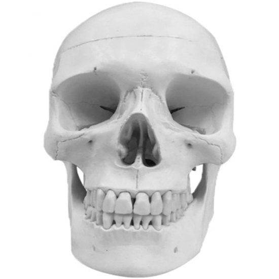 Human life size Skull Model